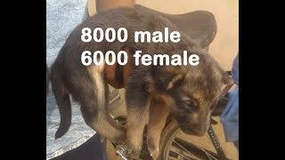 very beautifull german shepherd puppies 8000 male 6000 female