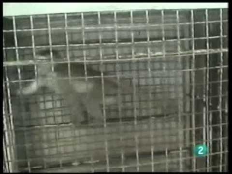 Así capturan a los monos para experimentos