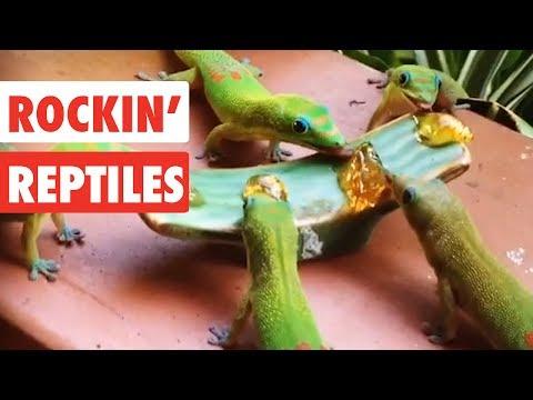 Rockin' Reptiles | Funny Reptile Video Compilation 2017