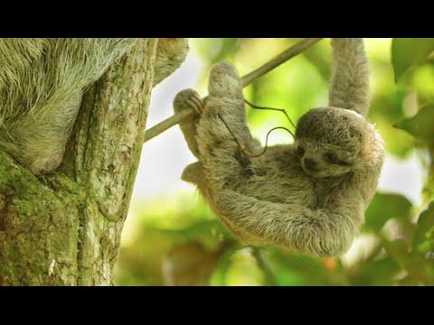 Wild Baby Sloth - Costa Rica