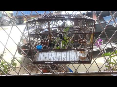 Trinidad Bullfinch .mp4 video