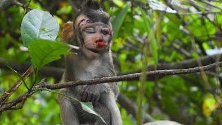 Sotra is very painful, Pity baby monkey, Sotra baby monkey, Baby monkey cry, SK #205