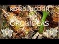 COMO REPRODUCIR ORQUIDEAS MASIVAMENTE Y FACIL mp3