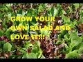 HOW TO GROW MIXED SALAD GREENS FROM SEEDS.