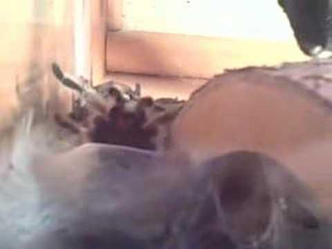 Tarantula Web Spinning Tarantula Spins a Web