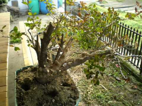 Ligustrum full video