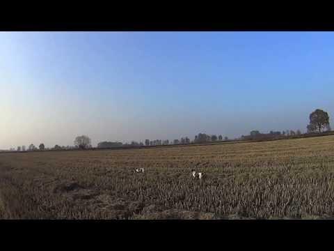 Caccia fagiano con Breton 2013