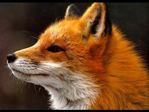 Ylvis - The Fox (what Does The Fox Say?) Lyrics video