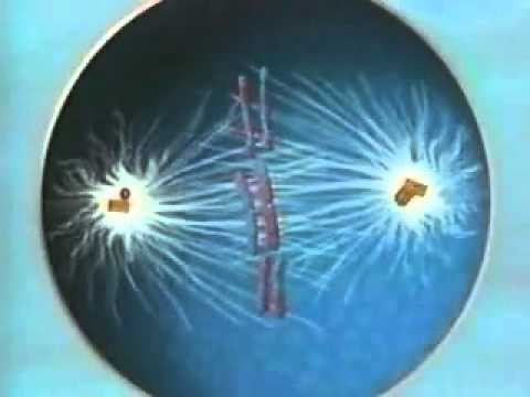 Meiosis - A Level Biology video