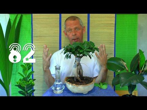 Wüstenrose. Die Sämlinge und wie geht es weiter mit den Exoten und anderen Pflanzen Teil 82