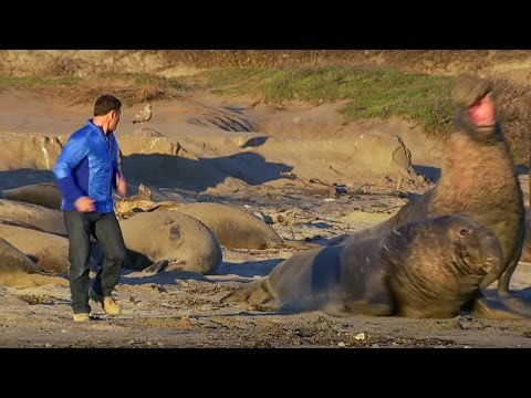 Up Close to Elephant Seals Fighting - Super Giant Animals - BBC