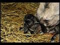 Окот козы. Предвестники родов у козы. Календарь беременности козы.