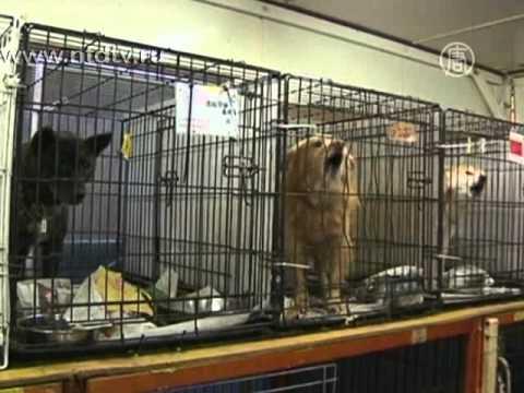 Брошенные животные в зоне радиации в Японии