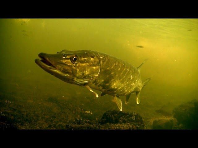 Perch & pike fishing with lures, strikes, underwater camera. Рыбалка окунь и щука на воблер балансир
