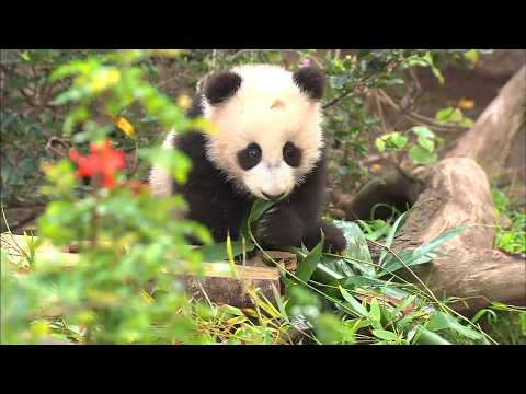 Baby Panda Eats Treats & Cuddles Mom During Public Debut