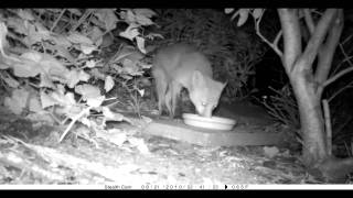 Unidentified animal attacks fox in garden captured on stealth cam ...