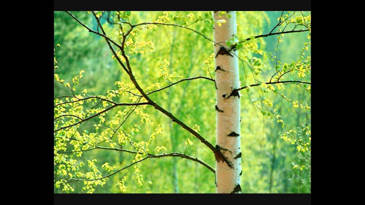 birch tree  Russian translation  babla EnglishRussian