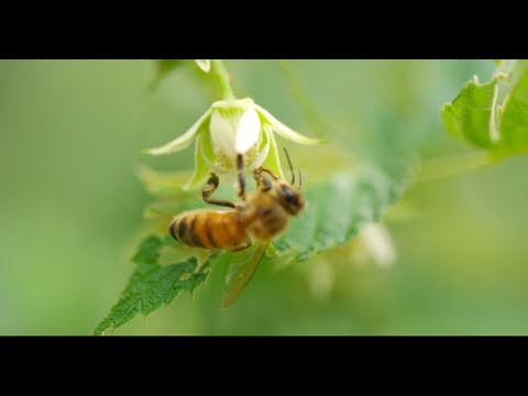 HONEY BEES 96fps IN 4K (ULTRA HD)