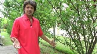 Cómo ahuyentar cotorras y calandrias de un huerto de árboles frutales