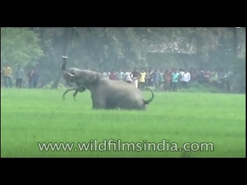 An elephant brutally attacks a man in West Bengal