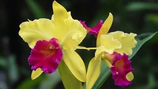 Growing and Repotting Cattleya Orchids