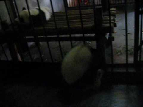 Baby panda falls out of cage (Chengdu, China)