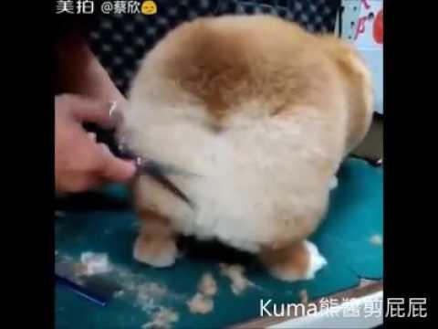 Corgi Going to hair cut -CUTE PETs
