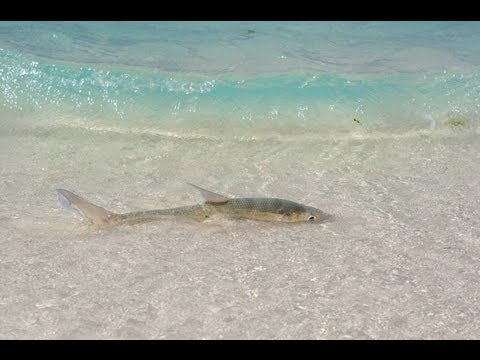 Tie2throw: BONEFISH FEEDING AND SWIMMING ON THE FLATS
