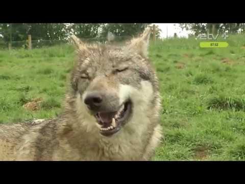 Волк не зря стал символом Эстонии: умный лесной зверь знаком многим поколениям эстоноземельцев