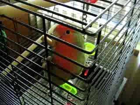 Talking Lovebird