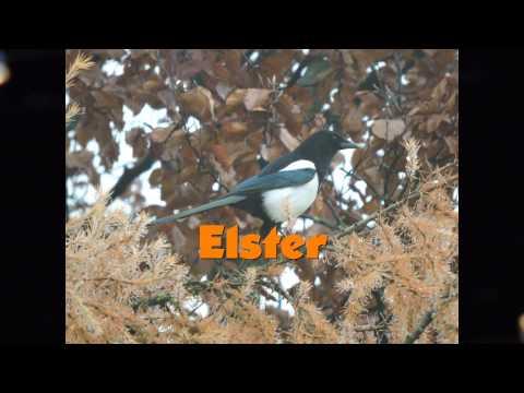 Elster Vogelstimme