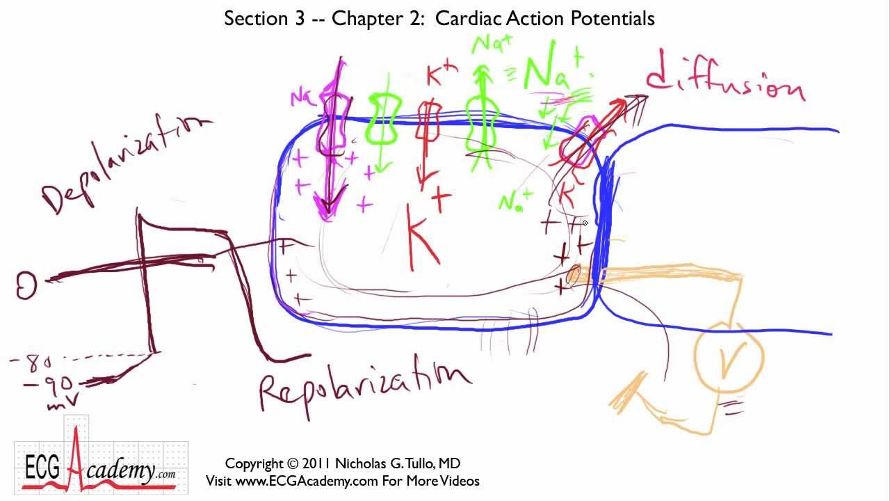 Cardiac Action Potential And Ecg Cardiac Action Potentials 3-3