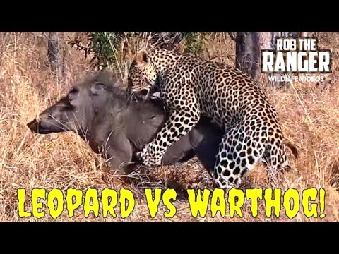 Leopard Vs Warthog: The Bloody Struggle (Full Sighting)