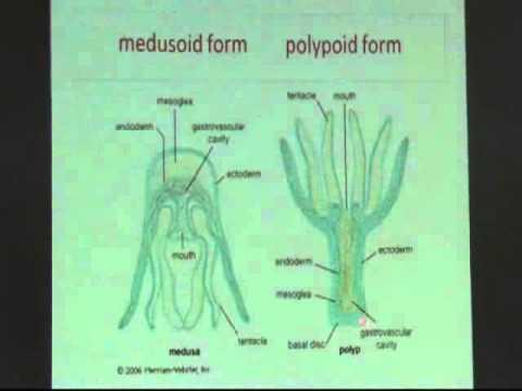 phylum-cnidaria-1.html