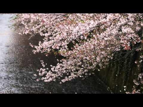 東中野 神田川岸櫻花Cherry Blossoms in Japan 日本の桜、桜吹雪 cherry blossoms blizzard
