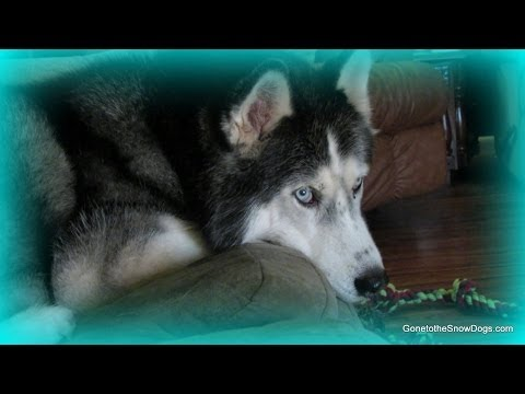 Loose Husky Won't Come when Called? What to do? FAN FRIDAY 131