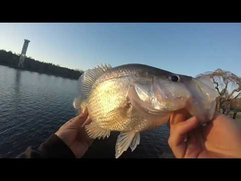 Dropshotting SLAB Crappie
