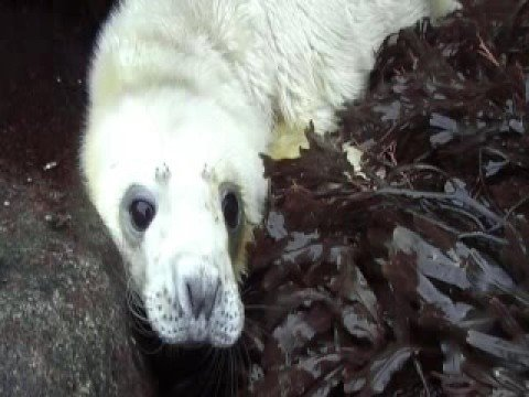 Thumbnail: Grey Seal Pup Isle of Rum