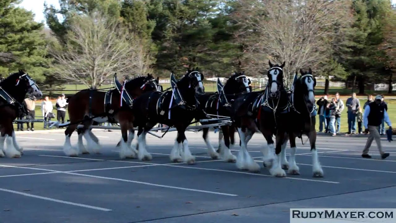 Budweiser Clydesdale Horses Wallpaper The Budweiser Clydesdale