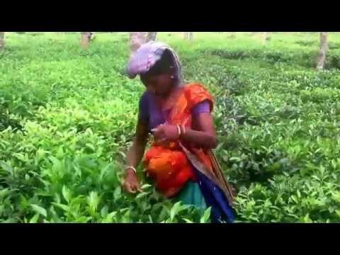 Natural Beautiful Tea Garden Video Of Sylhet Bangladesh
