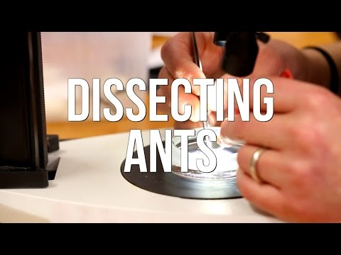 Dissecting Ants