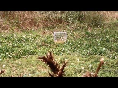 Saka Kuşu Huylandırma HD Chardonneret - Cemil Aslan