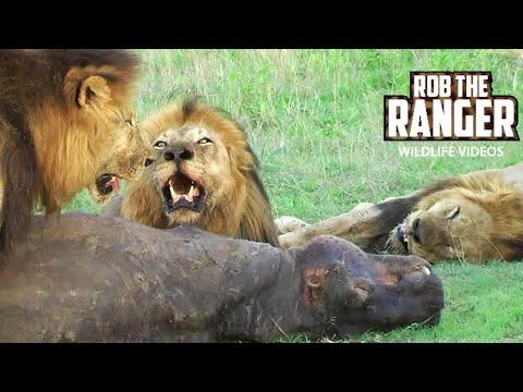 3 Big Mapogo Male Lions Eating: HIPPO KILL!! (HD)