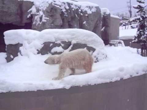 旭山動物園のホッキョクグマ、コユキ
