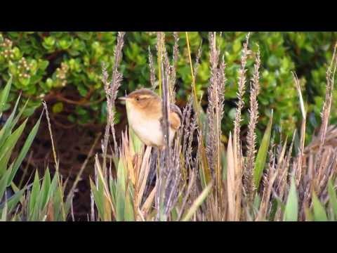 Sedge Wren SONG - Cistothorus platensis - Aves parque natural Chingaza - Aves de Bogota