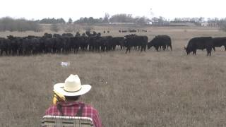 Ranchin' Trombone Cow Christmas