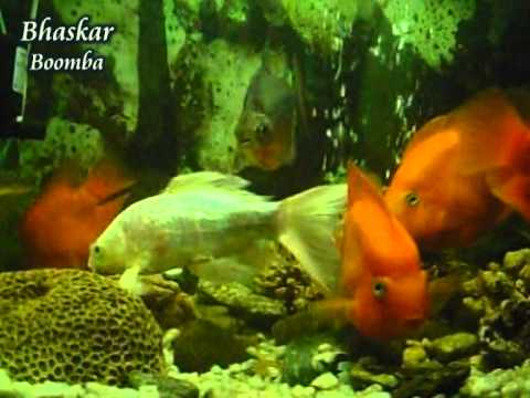 Sokhi Bhabona Kahare Bole - Rabindra Sangeet - Aquarium - Red Parrot - Bhaskar.mpg video