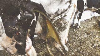 История больной коровы. Пневмония