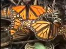 Monarch Butterfly Sanctuary  -