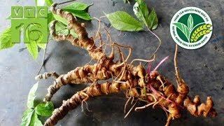Bí quyết tạo rễ Sâm Ngọc Linh nhanh gấp 20 lần | VTC16